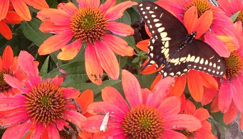 A butterfly and moth friend enjoy this brilliantly colored coneflower added last year.