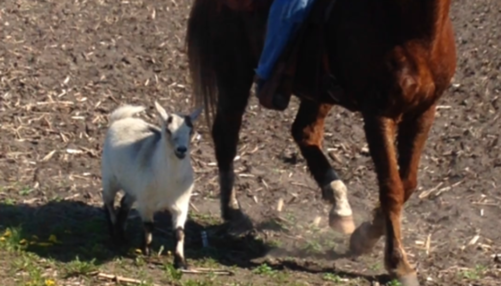 Horse and Goat Friends